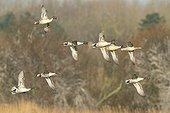 Flight of Pintails in winter