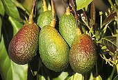 Avocados (Persea americana) hanging from an avocado tree in a garden on La Palma Island, Canary Islands, Spain