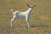 Domestic Goat (Capra hircus hircus), young animal, Ellerstadt, Rhineland-Palatinate, Germany, Europe