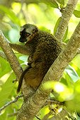 Common brown lemur and young on a tree Isalo Madagascar