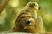 Common brown lemur and young in forest Isalo Madagascar