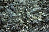 Pillow-lava in Thorisvatn Iceland