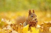 Red squirrel sitting between colorful autumn leaves