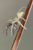 Green huntsman spider (Micrommata virescens) with prey