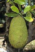 Jackfruit Reunion