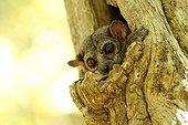 Milne-edwards's Sportive Lemur Ankarafantsika NP Madagascar