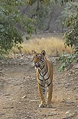 Wild Tiger (Panthera tigris) in his natural dry deciduous habitat in Ranthambore Tiger Reserve, Ranthambore National Park, Rajasthan, India, Asia