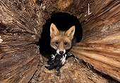 Red fox (Vulpes vulpes) with prey in a hollow tree trunk
