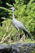 Blue Crane or Paradise Crane (Anthropoides paradisea), Hellabrunn zoo, Munich, Bavaria, Germany, Europe