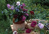 Bouquet of Pansies and forget-me-not in a garden
