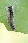 Caterpillar of the Gypsy moth (Lymantria dispar), Middle Elbe Biosphere Reserve near Dessau, Saxony-Anhalt, Germany, Europe