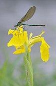 Banded demoiselle (Calopteryx splendens), female on a Yellow Iris (Iris pseudacorus), Middle Elbe Biosphere Reserve near Dessau, Saxony-Anhalt, Germany, Europe