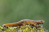 Smooth Newt (Lissotriton vulgaris syn ; Smooth Newt (Lissotriton vulgaris syn. Triturus vulgaris), female, land stage, Middle Elbe Biosphere Reserve near Dessau, Saxony-Anhalt, Germany, Europe