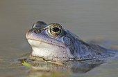 Moor Frog (Rana arvalis) in spawning grounds, Middle Elbe Biosphere Reserve near Dessau, Saxony-Anhalt, Germany, Europe