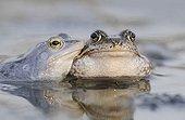 Moor Frog (Rana arvalis), left, and Common Frog (Rana temporaria), Middle Elbe Biosphere Reserve near Dessau, Saxony-Anhalt, Germany, Europe