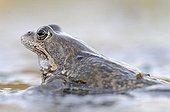 Common Frog (Rana temporaria), Middle Elbe Biosphere Reserve near Dessau, Saxony-Anhalt, Germany, Europe
