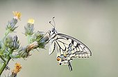 Old World Swallowtail (Papilio machaon), Middle Elbe Biosphere Reserve near Dessau, Saxony-Anhalt, Germany, Europe
