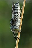 Coelioxys bee (Coelioxys sp.) sleeping, Bulgaria, Europe
