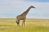 Giraffe in the savannah of Etosha NP in Namibia ; It sucks a bone for mineral
