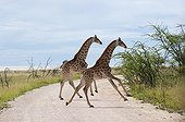 Young reticulated giraffe playing in the Etosha NP Namibia