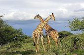 Contest between two young male reticulated giraffe in Namibia