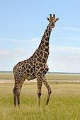 Giraffe in the savannah of Etosha NP in Namibia