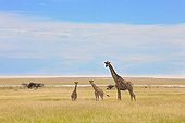 Reticulated giraffe and two babies Etosha NP in Namibia