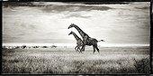 Reticulated giraffe in the savannah of Etosha NP in Namibia