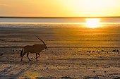 Gemsbok in the Etosha NP in Namibia