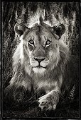Portrait of a young male lion in Etosha NP Namibia ; The lion is three years old