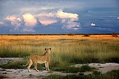 Lioness facing the bush in Etosha NP in Namibia