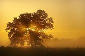 Solitary oak tree in the sunrise on the Elbe meadows, Middle Elbe Biosphere Reserve near Dessau, Saxony-Anhalt, Germany, Europe
