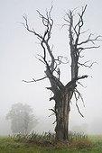 Solitary oak in the morning mist, Middle Elbe Biosphere Reserve near Dessau, Saxony-Anhalt, Germany, Europe