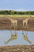 Reticulated giraffes near a waterhole in Etosha NP Namibia