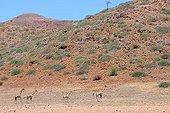 Reticulated giraffes in the Kunene region in Namibia
