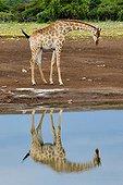 Giraffe at a waterhole in Etosha NP in Namibia