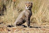 Young Cheetah of one month is sitting Namibia ; Rehabilitation center for felines before their reintroduction in the wild.
