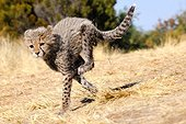 Young Cheetah of one month running Namibia ; Rehabilitation center for felines before their reintroduction in the wild.