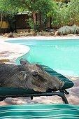 Warthog sleeping on a chair by the pool Namibia ; Rehabilitation center for felines before their reintroduction in the wild.
