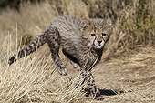 One month of cheetah running around Namibia ; Rehabilitation center for felines before their reintroduction in the wild.