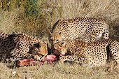 Meal with Cheetah brothers in Namibia ; Rehabilitation center for feline before their reintroduction in the wild. Run by Olivier and Alain Houalet to 2500 m altitude.