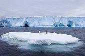 Manchots sur de la glace dérivante près de la Terre d'Adélie