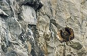 Young Eagle Owl in flight before a cliff Switzerland