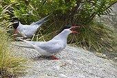 Antarctic terns on ground Snares Islands New Zealand