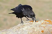 Nothern Raven on a rock in the sun Canary Islands