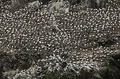 Colony of Gannets Island Rouzic Brittany France