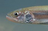 Portrait of European Smelt Belgium