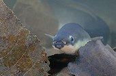 European eel in Belgium