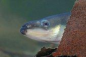 Portrait of a European eel in Belgium