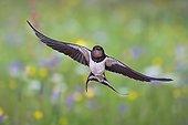 Barn swallow (Hirundo rustica) in flight with prey, Thuringia, Germany, Europe